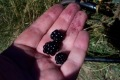 hand with three blackberries